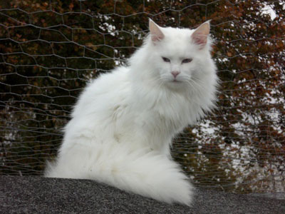Maine Coon Cat Uk For Sale