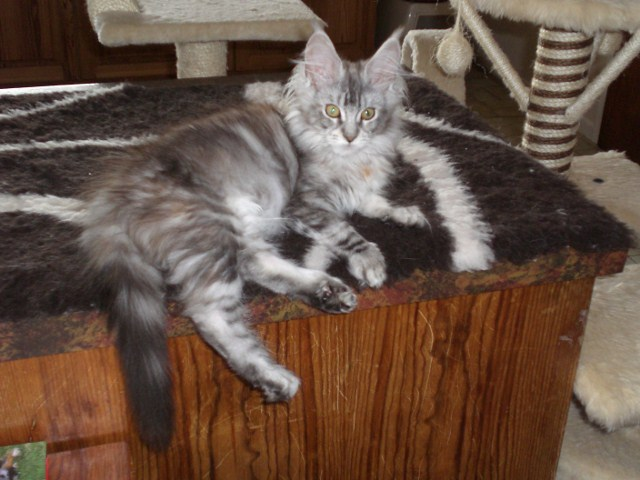 Applause Pedigree Cats and Kittens: British, Maine Coons and